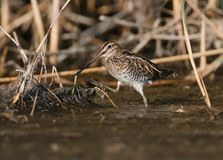 A common snipe is grazed in a shallow pond. In the rays of the morning sun Royalty Free Stock Images