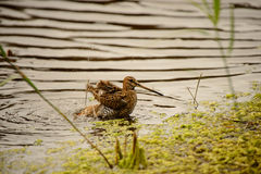 Common Snipe Royalty Free Stock Photography