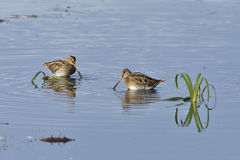 Common snipe Stock Photo
