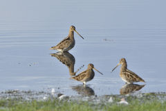 Common snipe Stock Image