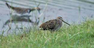 A Common  Snipe Stock Photos
