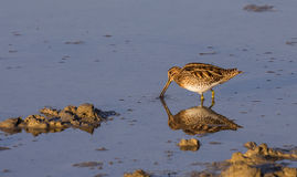 Common Snipe with Reflection Royalty Free Stock Image