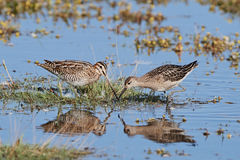 Common snipe and Ruff. Looking for food in their habitat Stock Image