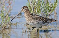 Common snipe russia Royalty Free Stock Photo