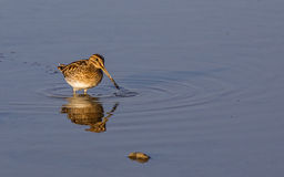 Common Snipe on Shallow Waters. Common snipe (Gallinago gallinago) is feeding on shallow waters stock image
