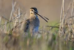 Common snipe singing his loud song with open beak in grassy ground from short distance royalty free stock image