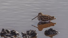 Common Snipe Sitting on Pond. Common snipe, Gallinago gallinago, with reflection on water is sitting on shallow pond feeding stock photography