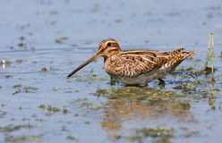 Common snipe in swamp Royalty Free Stock Photos