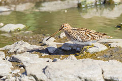 Common Snipe, Walking. Common Snipes are seen either solitary, or in small groups. When flushed, its flight is a rapid zig-zag pattern and it flies far Royalty Free Stock Photography