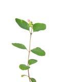 Common snowberry (Symphoricarpos albus) Royalty Free Stock Photos