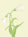 Common snowdrop. Background illustration with common snowdrop Royalty Free Stock Images