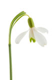 Common snowdrop Stock Photo
