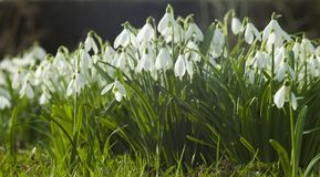 Common Snowdrops Royalty Free Stock Images