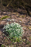 Common Snowdrops blooming at the edge of a forest Royalty Free Stock Photography