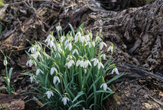 Common Snowdrops flowering between the rotten fallen leaves from Royalty Free Stock Photos