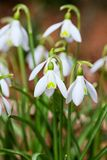 Common Snowdrops Royalty Free Stock Photos
