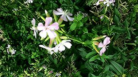 Common soapwort, with flower. In an herbal garden stock video