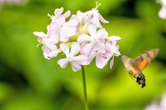 Common soapwort with Hummingbird hawk-moth. Common soapwort,medicinal plant with Hummingbird hawk-moth royalty free stock images