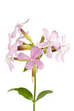 Common Soapwort isolated on white background Stock Photo