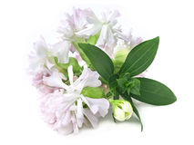 Common soapwort (Saponaria officinalis) Royalty Free Stock Image