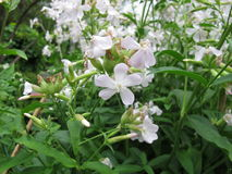 Common soapwort, Saponaria officinalis Stock Image