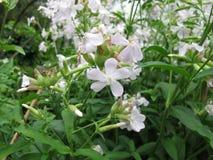 Common soapwort, Saponaria officinalis Stock Image