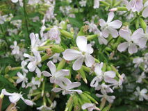 Common soapwort, Saponaria officinalis Royalty Free Stock Photography