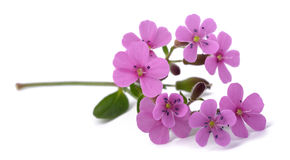 Common soapwort & x28;Saponaria officinalis& x29; Royalty Free Stock Images