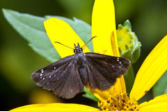 Common Sooty Wing Royalty Free Stock Image