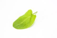 Common sorrel garden sorrel. Rumex acetosa spinach dock narrow-leaved dock stock image
