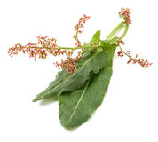 Common sorrel leaves and flowers. On white stock images