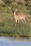 Common or Southern reedbuck,  Redunca arundinum Stock Photos