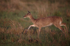 Common or Southern reedbuck,  Redunca arundinum Royalty Free Stock Photography