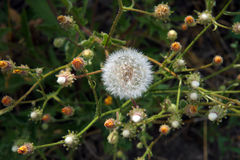 Common Sowthistle plant. Common Sowthistle (Sonchus oleraceus) has yellow flowers in spring to summer with fluffy thistle head seeds forming after the petals all Stock Photos