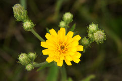 Common Sowthistle plant Royalty Free Stock Photography