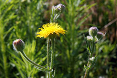 Common Sowthistle plant. Common Sowthistle (Sonchus oleraceus) has yellow flowers in spring to summer with fluffy thistle head seeds forming after the petals all Stock Image