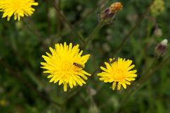 Common Sowthistle plant. Common Sowthistle (Sonchus oleraceus) has yellow flowers in spring to summer with fluffy thistle head seeds forming after the petals all Royalty Free Stock Image