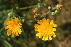 Common Sowthistle plant. Common Sowthistle (Sonchus oleraceus) has yellow flowers in spring to summer with fluffy thistle head seeds forming after the petals all Stock Photography