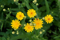 Common Sowthistle Sonchus oleraceus Stock Photos