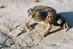 Common Spadefoot Stock Images