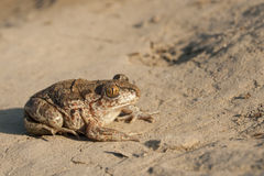 Common Spadefoot Royalty Free Stock Image