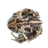 Common Spadefoot (Pelobates fuscus) isolated on white Stock Images