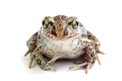 Common Spadefoot (Pelobates fuscus) isolated on white Stock Photography