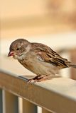 Common Sparrow. A common Australian Sparrow perched on a fence Stock Image
