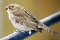Common sparrow Stock Photo