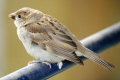 Common sparrow Stock Photo