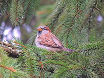 Common sparrow Stock Image