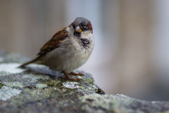 Common Sparrow Royalty Free Stock Photography