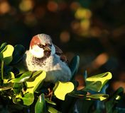 Common Sparrow ( (Passer domesticus). The House Sparrow (Passer domesticus) is a bird of the sparrow family Passeridae, found in most parts of the world. A small stock photography