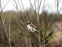 Common sparrow Passer domesticus Royalty Free Stock Photo